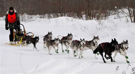 sled dogs a connecticut sled racer prepares to marshal the dogs the new york times