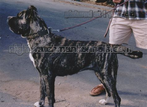 american bandogge mastiff american pit bull terrier