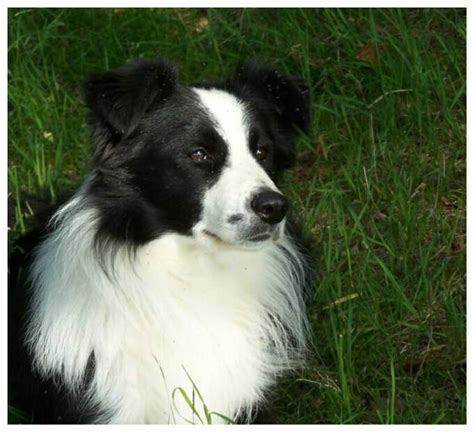 border collie puppies for sale indiana border collie puppies border collies for sale scotland uk