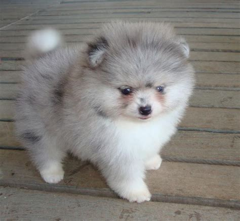 pomeranian health issues its bad merle poms are so prone to health problems because they sure are beautiful