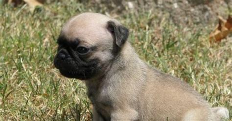 adopt pug puppy adopt a pug for free pug puppy for free adoption
