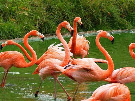 american flamingo desktop wallpaper full screen