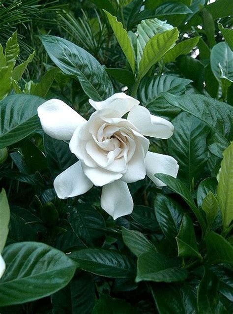 Gardenia Bush Care Gardenia Plant Care Guide