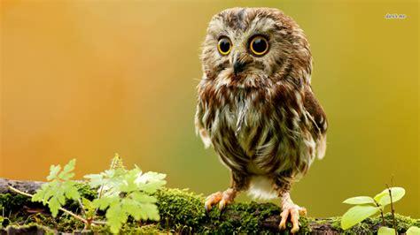 image  animal wallpaper high definition  owl
