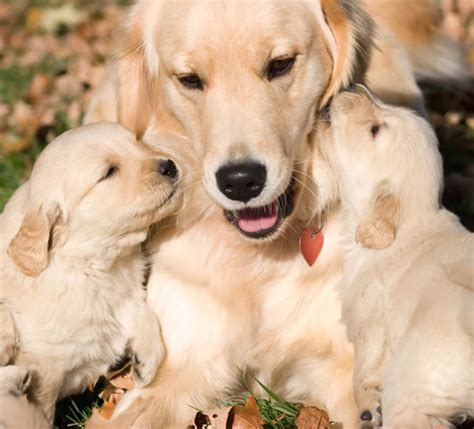 free golden retriever pups golden retriever puppies pictures and adorable pets world