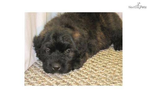 bouvier des flandres puppies for sale airedale terrier x bouvier des flandres puppies for sale in picture breeds picture