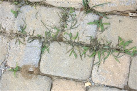 How To Remove Weeds Between Patio Stones by How To Kill Weeds Between Paving Stones Growing The Home