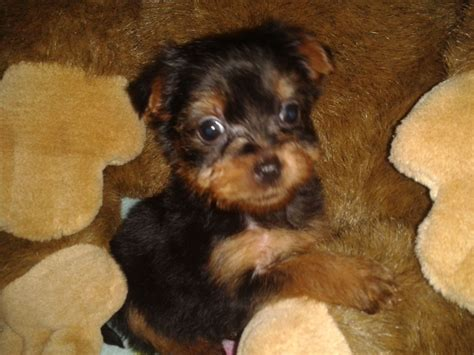 yorkie puppies for sale in orange county yorkie puppies for sale puppies for sale dogs for sale