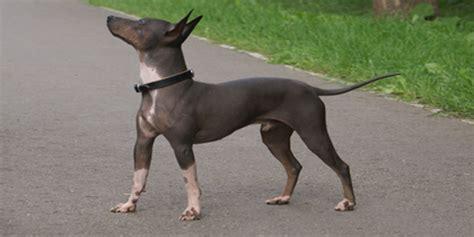 american hairless terrier puppies american hairless terrier breed