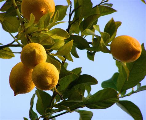 when do lemon trees produce fruit how does a lemon tree take to produce fruit garden