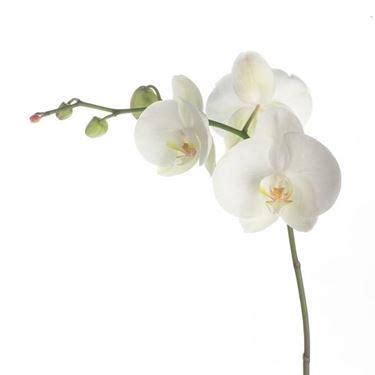come curare le orchidee in vaso le orchidee orchidee come curare le orchidee