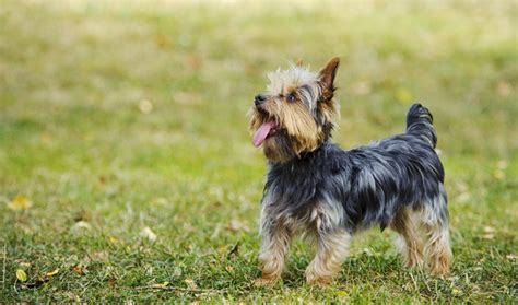 how does the average yorkie live terrier legs dogs our friends photo
