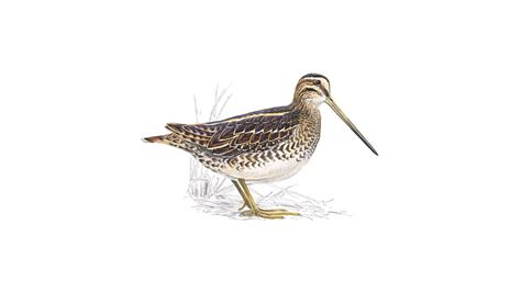 snipe bid snipe bird facts gallinago gallinago the rspb