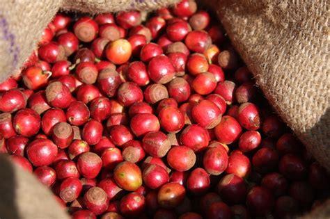 Liberica Coffee liberica coffee cherry