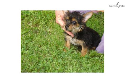 baby yorkie for sale 400 meet tiny baby a terrier yorkie puppy for sale for 400 registered