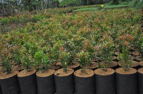Jual Bibit Anggrek Cymbidium gambar bibit anggrek botol cattleya 20 25 pcs indonesia