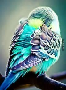 budgie colors parakeet color cravings