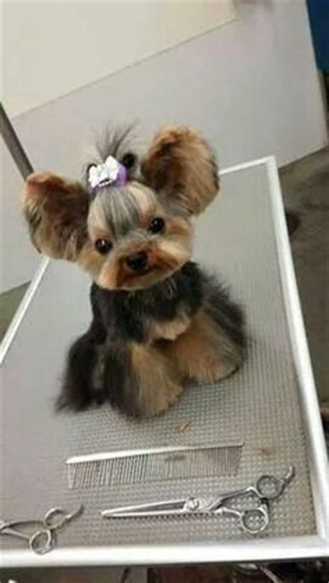 yorkie hair cut chart 17 best images about dog grooming on pinterest a lion