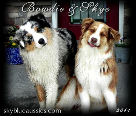 dogs for sale in nebraska australian shepherd puppies for sale nebraska australian shepherds