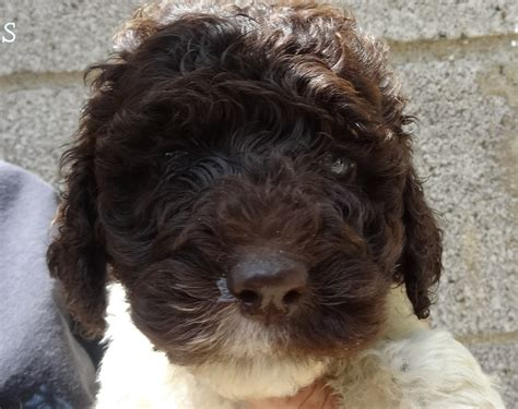 goldendoodle puppies in pa standard goldendoodles for sale pennsylvania yankee doodles breeds picture