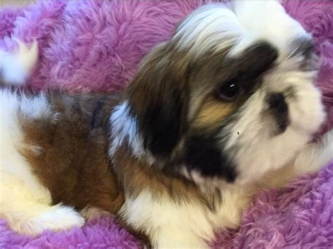 how to raise shih tzu puppies shih tzu for sale by intuition shih tzu american kennel club