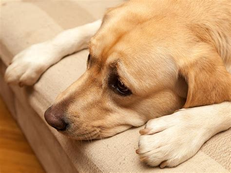 puppy kennel cough take precautions to prevent kennel cough american kennel