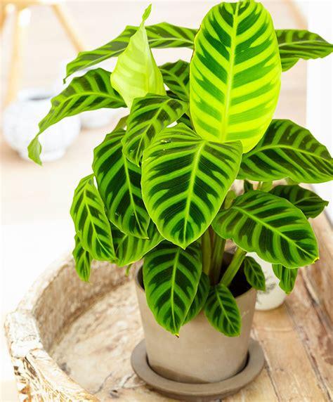 Calathea Zebrina achetez maintenant une plante d int 233 rieur calath 233 a