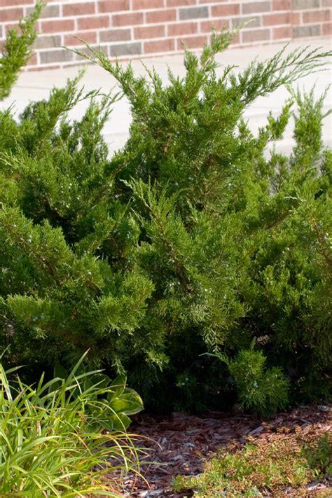 Houston Plants Garden World by Sea Green Juniper Houston Plants Garden World