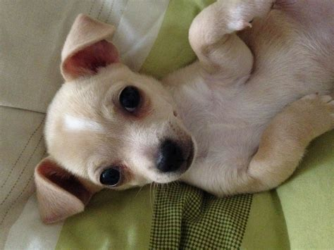 has puppies 11 week chihuahua puppy for sale cardiff cardiff pets4homes