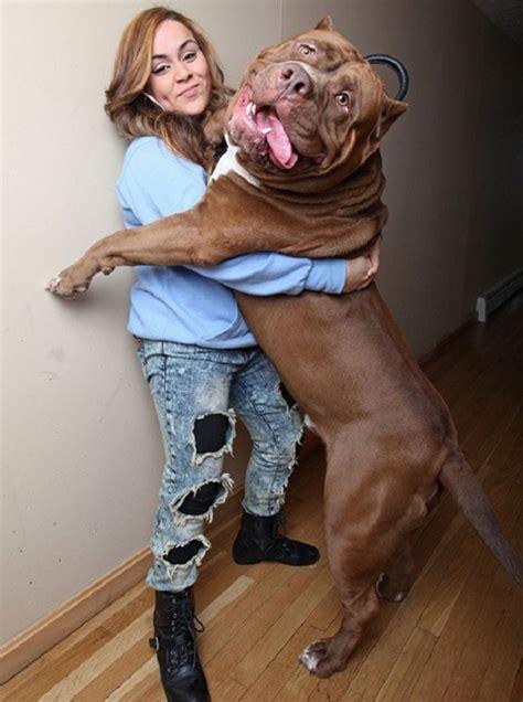 abotonada por su perro news of the worlds el pitbull m 225 s grande del mundo taringa