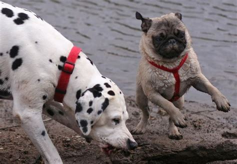 pug dalmation mix 17 best images about pugs animal friends on chihuahuas guinea pigs and