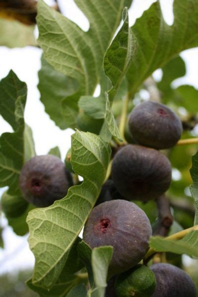 prune fig trees taverham nursery centre norwich