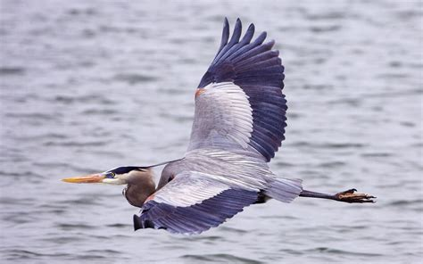 wallpapers great blue heron bird wallpapers