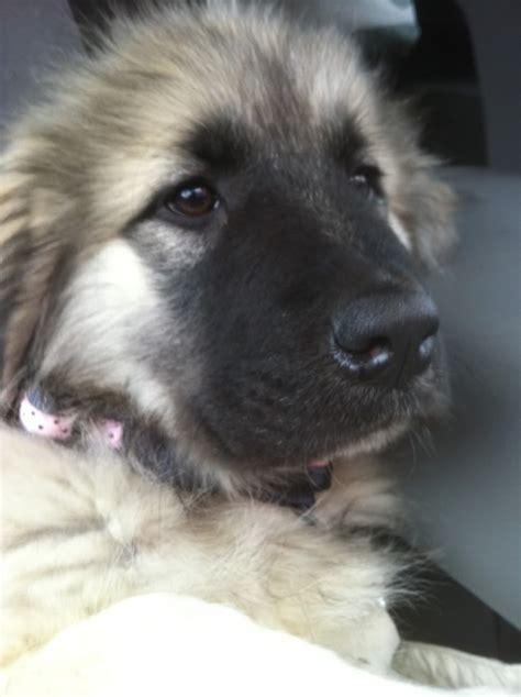 sarplaninac puppy 71 best animals images on