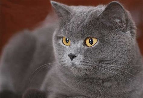 gato pelo corto gato brit 225 nico de pelo corto