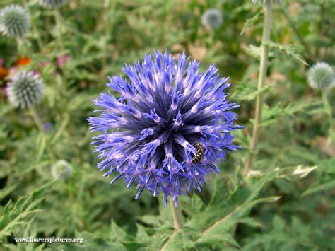 pictures of flowers echinops flower picture