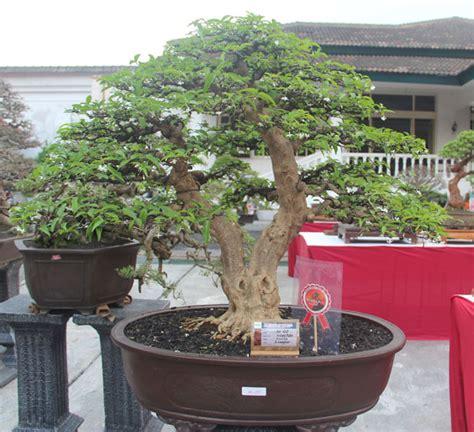 Anting Bunga Melati quot bonsai lembah ciremai quot budidaya anting putri cocok untuk bonsai