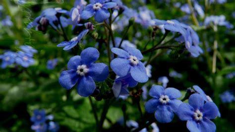 non ti scordar di me fiori i non ti scordar di me fiori fiori
