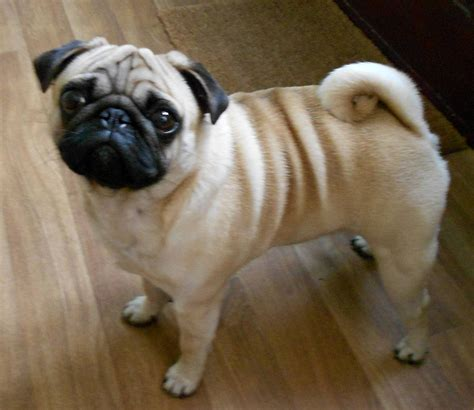accessories for pugs gorgeous kc reg pug with all accessories for sale barnsley south pets4homes
