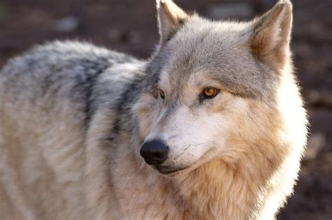 alaskan wolf alaskan tundra wolf