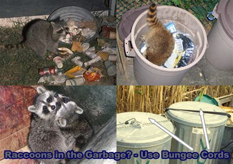 how to get rid of a raccoon in your backyard how to get rid of raccoons in the garbage cans