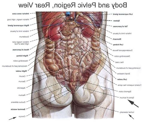 diagram of human organs in the human anatomy diagram organs back anatomy list