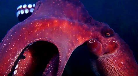 octopus steals curious octopus steals