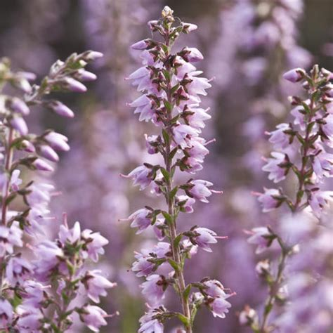 Sommerheide Pflege by Besenheide Knospenheide Calluna Vulgaris Pflanzen