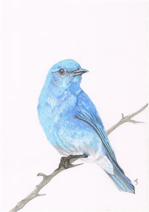 mountain bluebird drawing