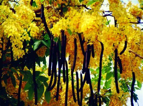 Shower Tree by Trees Planet Cassia Fistula Golden Shower Tree