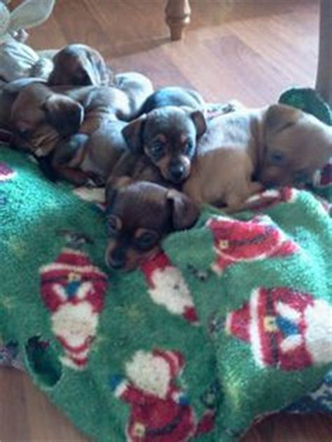 puppies for sale in tri cities tn chiweenie our quot dapple quot on puppies for sale puppys and chihuahuas