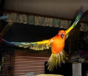 Red Factor Sun Conures For Sale » Home Design 2017