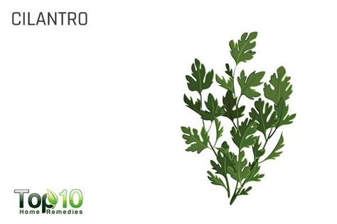 Lead Detox Cilantro by 10 Herbs That Detox Your Naturally Top 10 Home Remedies