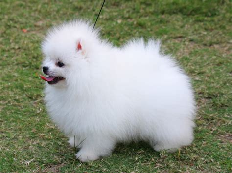 image pomeranian animal photo feedage 21470046